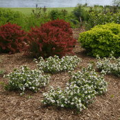 low_scape_mound_aronia_shrubs.jpg