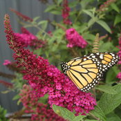 miss_molly_butterfly_bush_buddleia.jpg