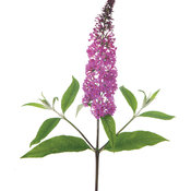 miss_ruby_buddleia.jpg
