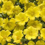 mojave_yellow_imp_tagimage.jpg