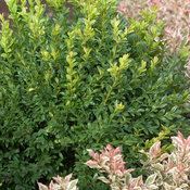 north_star_buxus-3802.jpg