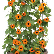 Orange A-Peel® - Black-Eyed Susan Vine - Thunbergia