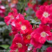 oso_easy_cherry_pie_rose-5.jpg