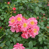 Oso Easy Double Pink rose