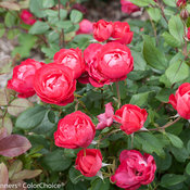 oso_easy_double_red_rose-2.jpg