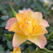 oso_easy_italian_ice_rose-2.jpg