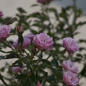 oso_happy_petit_pink_1.jpg