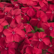 phlox_intensia_red_hot_tag.jpg