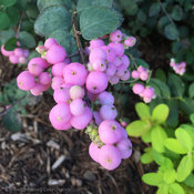 proud_berry_symphoricarpos_fruit_closeup.jpg