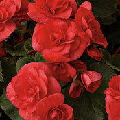 proven_selections_solenia_red_begonia.jpg