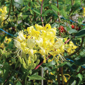 proven_winners_lonicera_scentsation_honeysuckle_0.jpg