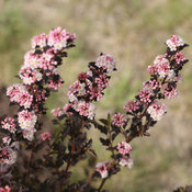 proven_winners_physocarpus_tiny_wine_ninebark.jpg