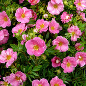 proven_winners_potentilla_happy_face_pink_paradise_0.jpg