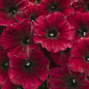 pw_supertunia_black_cherry.jpg