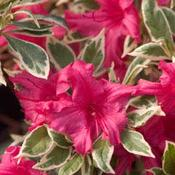 RhododendronBollywoodCRW6248.jpg