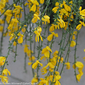 sister_golden_hair_cytisus-1.jpg