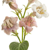 sonic_bloom_pearl_weigela_03.jpg