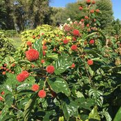 sugar_shack_cephalanthus_fruit.jpg