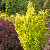 Sunjoy Gold Pillar Berberis