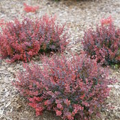 sunjoy_mini_maroon_seedless_barberry_2.jpg