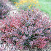 sunjoy_mini_maroon_seedless_barberry_3.jpg