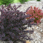 Sunjoy Syrah Berberis (barberry)