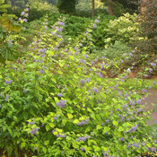 sunshine_blue_caryopteris-4922.jpg