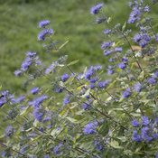 sunshine_blue_caryopteris_22.jpg