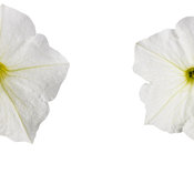 supertunia_white_improved_001.jpg