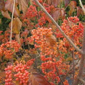 tandoori_orange_viburnum_fall_color.jpg