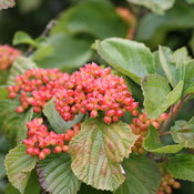 tandoori_orange_viburnum_summer.jpg