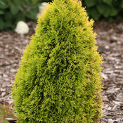 thuja_filips_magic_moment-7975.jpg