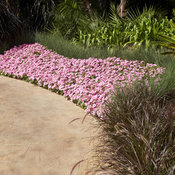 Supertunia® Vista Bubblegum® Landscape