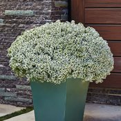white-knight-lobularia-hybrid.jpg