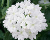 Lanai® Blush White - Verbena
