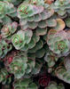 Dragon's Blood - Stonecrop - Sedum spurium