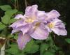 'Hakuba' - Queen of the Vines - Clematis hybrid