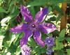 The President - Queen of the Vines - Clematis hybrid