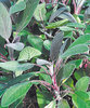 Purple Sage - Salvia purpurea