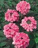Temari® Bright Pink - Verbena hybrid