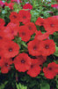 Surfinia® Red - Petunia hybrid