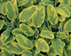 Icterina - Golden Leaf Sage - Salvia officinalis