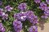 Lanai® Purple Star - Verbena