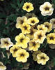 Million Bells® Yellow - Calibrachoa hybrid