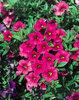 Million Bells® Cherry Pink - Calibrachoa hybrid