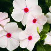 Cora® Cascade Peach Blush - Vinca - Catharanthus roseus