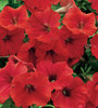 Surfinia® Deep Red - Petunia hybrid