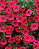 Million Bells® Trailing Magenta - Calibrachoa hybrid