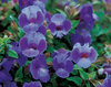 Summer Wave® Large Blue - Wishbone Flower - Torenia hybrid