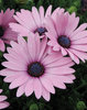 Soprano® Light Purple - Osteospermum hybrid